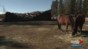 Southern Alberta animal sanctuary struggles to feed rescue horses amid hay shortages