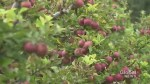 Apple-picking season starts this weekend in Durham Region