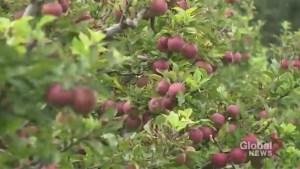 Apple-picking season starts this weekend in Durham Region