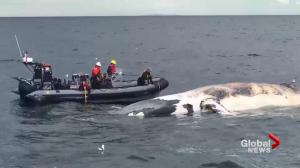 Tenth dead North Atlantic right whale found in Gulf of St. Lawerence