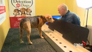 Specially-trained Quebec dogs sniffing out cancer in U.S. firefighters