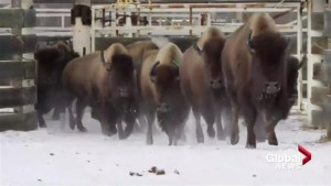 Banff bison will get more freedom in the future