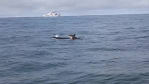 Study on effects of marine traffic on resident Orcas