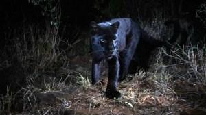 Rare black leopard caught on camera in Kenya