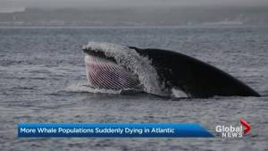 Other whale species suffering losses in North Atlantic