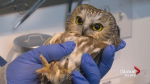 Small Calgary wildlife rehabilitation facility one of the most successful in North America