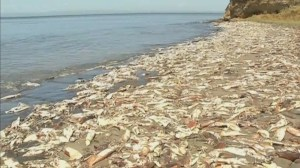 Thousands of squid wash up on shores of Chile