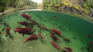 International group of scientists hope to uncover the 'secret lives of salmon'