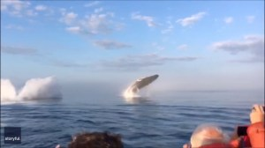 Extraordinary video captures triple whale breaching off coast of Nova Scotia