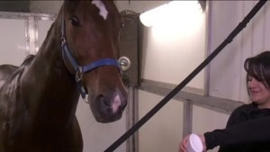 Cavalia: Taking care of 65 horses