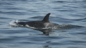 Concern growing for ailing J50 orca after she separates from pod