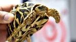 1,529 turtles discovered inside alleged smuggler's luggage