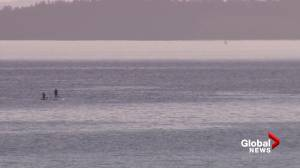 Grey whales spotted in Metro Vancouver