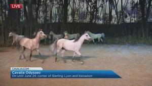 "Cavalia Odysseo: ""Liberty Arabians"""