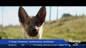 Ahead of its theatrical release, controversy continues to surrounding 'A Dog's Purpose'