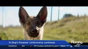 Ahead of its theatrical release, controversy continues to surrounding 'A Dog's Purpose' (03:12)
