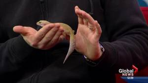 Pet of the Week: Tico the leopard gecko (03:50)