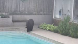 East Van bear inspects backyard pool