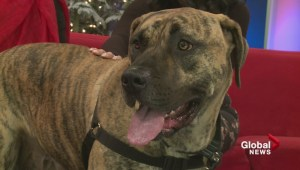 Adopt a Pet: Danae the Presa Canario