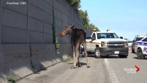 Moose on the loose stops traffic in Ottawa
