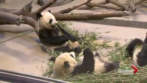 Toronto Zoo pandas are leaving Toronto