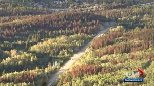 Mountain Pine Beetle devastating Jasper forests