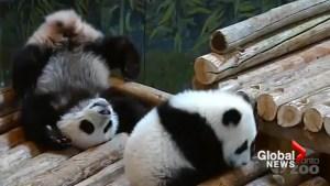 Toronto Zoo panda cubs turn 7 months old