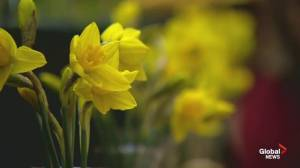 Daffodil Month – Canadian Cancer Society