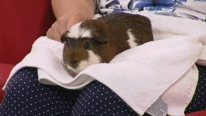 Adopt a pet: Oz the Guinea Pig