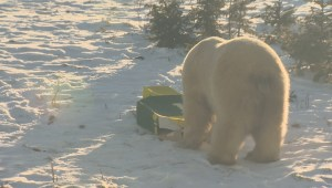 RAW: Storm the polar bear predicts Edmonton Eskimos will take the Grey Cup