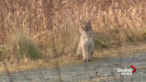 Global Videographer gets rare images of Bobcat