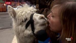 Calgary Stampede: Llama kisses for Leslie Horton