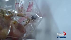 Alberta family finds potentially deadly spider in bag of grapes they bought