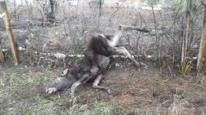 Moose calf turns on rescuer