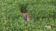 Play video: Animals to feed, many ways to get lost; what's new at the Lethbridge Corn Maze