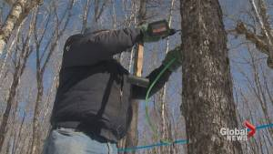 Maple Syrup producers rush to get trees tapped