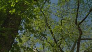 City of Calgary urges vigilance against elm scale infestation