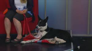 New Hope Dog Rescue needs a home for Oreo