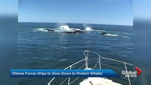 Ottawa forces ships to slow down to protect whales
