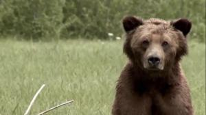 B.C. government ends grizzly bear hunt