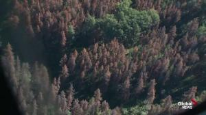 How Alberta's cold weather helps in the fight against mountain pine beetles