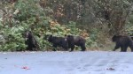 Bella Coola Valley residents living in fear of grizzly bears