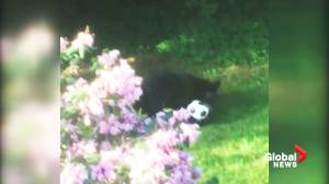 Bear cub plays with soccer ball in North Vancouver backyard
