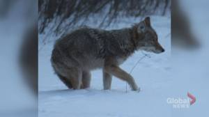 Two coyotes caught in illegal snare traps in Mississauga, Fort Erie
