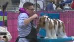 Lethbridge and District Kennel Club Dog Show underway
