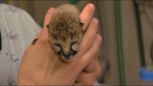 Cheetah cubs born prematurely at Cincinnati Zoo
