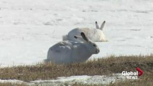 Regina residents concerned with rampant rabbits