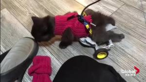 Lego wheelchair gives stray kitten new lease on life