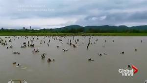 Video shows hundreds of Rohingya Muslims swimming for their lives