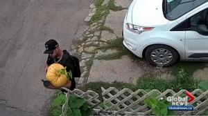 Edmonton family perturbed by pointless theft of massive pumpkin
